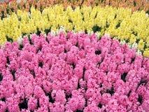 Flowerbed colorido do Hyacinth Imagem de Stock Royalty Free