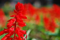 Flowerbed com flores vermelhas Fotos de Stock Royalty Free