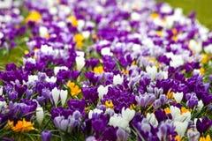 Flowerbed con lo springcrocus variopinto fotografia stock libera da diritti