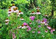 Flowerbed Coneflowers в саде Purpurea эхинацеи и фиолетовый цветник coneflowers Стоковые Фотографии RF
