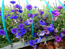 Flowerbed with cornflowers Royalty Free Stock Images