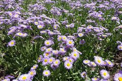 Flowerbed covered with flowering Erigeron speciosus in June. Flower bed covered with flowering Erigeron speciosus in June stock image