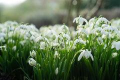 Flowerbed covered with snodrops Royalty Free Stock Photos