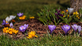 Flowerbed of crocus. Some bed of crocus flowers from garden stock photography