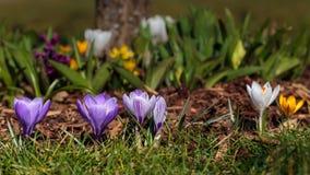 Flowerbed of crocus. Some bed of crocus flowers from garden stock image