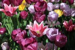 Flowerbed cudowni różni wiosna tulipany Zdjęcia Stock