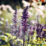 Flowerbed with culinary herb sage - vintage effect. Royalty Free Stock Photos