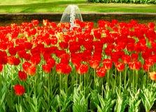 Flowerbed czerwoni tulipany na tle kanał Obrazy Royalty Free