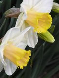 Flowerbed of daffodils stock photo