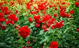 Flowerbed das rosas Fotografia de Stock Royalty Free
