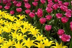 Flowerbed de tulips cor-de-rosa e amarelos Fotografia de Stock
