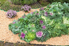 Flowerbed with decorative cabbage and the chrysanthemum Stock Images