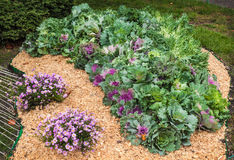 Flowerbed with decorative cabbage and the chrysanthemum Royalty Free Stock Photo