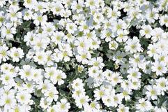 Flowerbed dei fiori bianchi del dianthus fotografia stock libera da diritti