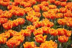 Flowerbed dei tulipani Immagine Stock