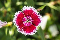 Flowerbed del barbatus del Dianthus Immagini Stock