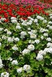 Flowerbed del geranio variopinto immagine stock libera da diritti