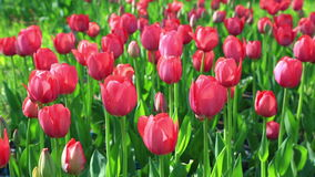 Flowerbed of delicate red tulips. Flower meadow with red velvet tulips in bloom at park stock footage