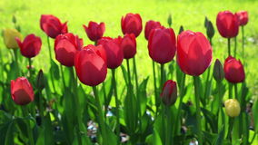 Flowerbed of delicate red tulips under summer sky. Flower meadow with red velvet tulips in bloom at park stock video footage