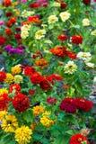 Flowerbed della dalia immagine stock