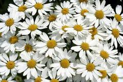 Flowerbed della margherita Fotografia Stock Libera da Diritti