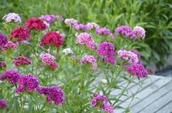 Free Flowerbed Dianthus Barbatus. Stock Photos - 151424373