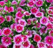 flowerbed dianthus barbatus Стоковое Изображение RF