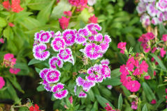Flowerbed Of Dianthus Barbatus Stock Image