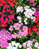 Flowerbed of Dianthus barbatus Stock Photo