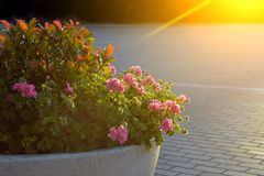 Flowerbed with flowers in the sunset Royalty Free Stock Photos