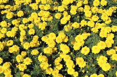 The flowerbed of French marigold Stock Photo