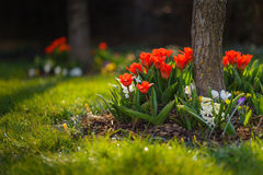 Flowerbed of red tulips at garden. Some bed of flowers from garden - tulips, crocus, hyacinthus etc royalty free stock photography