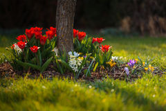 Red tulips flowerbed at garden. Some bed of flowers from garden - tulips, crocus, hyacinthus etc stock images