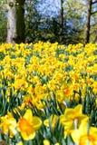 Flowerbed giallo del narciso Fotografia Stock