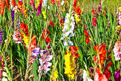Flowerbed with gladiolus Stock Image