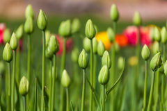 Flowerbed with green buds of tulips Royalty Free Stock Photos