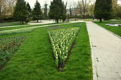 Fresh early spring purple, white and pink hyacinth bulbs, grown in the fowerbeds of the city park garden stock photos