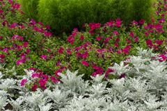 Flowerbed with green grass, silver Cineraria and pink Petunia. Photo Royalty Free Stock Image