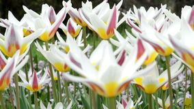 Flowerbed of group of white pink tulips moving in the wind. park. springtime. stock video