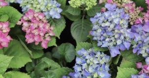 Flowerbed of flowers. Flowerbed of Hydrangea Macrophyll Hydrangea stock video footage