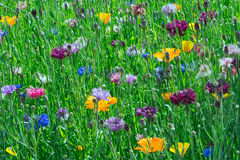 Flowerbed of June. Closeup of colorful June wildflowers Stock Image