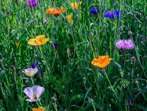 Flowerbed of June. Closeup of colorful June wildflowers Stock Photos