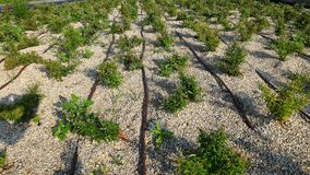 Flowerbed kapinosa irygacja zdjęcie royalty free