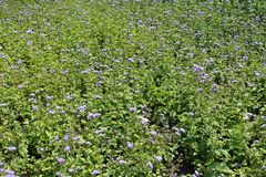 Flowerbed with lots of Ageratum houstonianum royalty free stock image