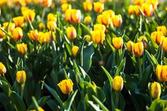 Flowerbed with lots of blooming yellow tulips Royalty Free Stock Images