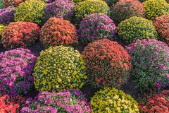 Flowerbed made from colorful chrysanthemums royalty free stock images