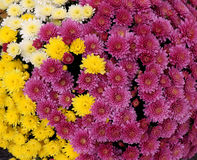 Flowerbed made from colorful oxeye daisy Royalty Free Stock Photography