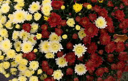 Flowerbed made from colorful oxeye daisy Stock Photo