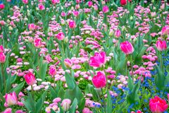 Flowerbed of magenta tulips. Stock Photos
