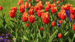 Flowerbed of many fresh red tulips flowers in city park. Flowerbed of many fresh red, white and pink tulips flowers in city park. Many fresh red, white and pink stock footage